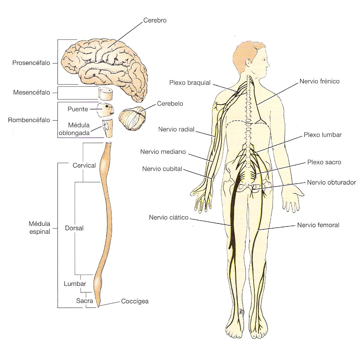 El Sistema Nervioso Consorcio De Neuropsicología Cnc